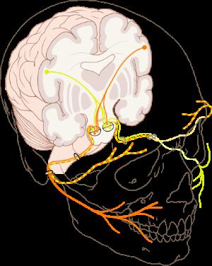 Cranial_nerve_VII