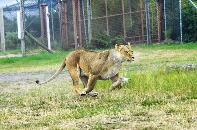 走るライオン