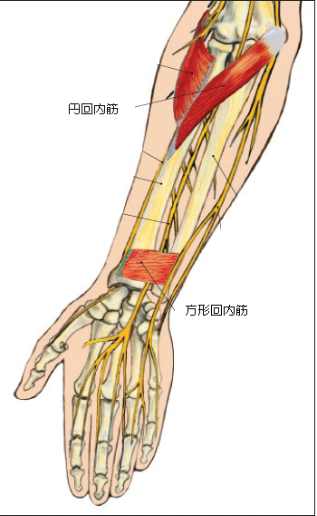 回内筋群の解剖模式図