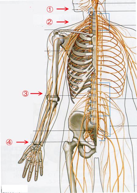 上肢の神経