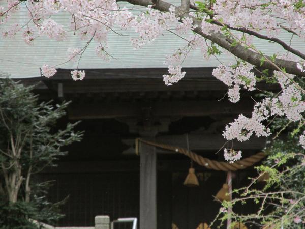 甘縄神明宮社殿の桜