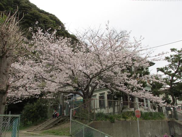 長谷子ども会館の桜